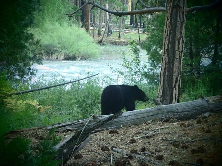 kings canyon bear